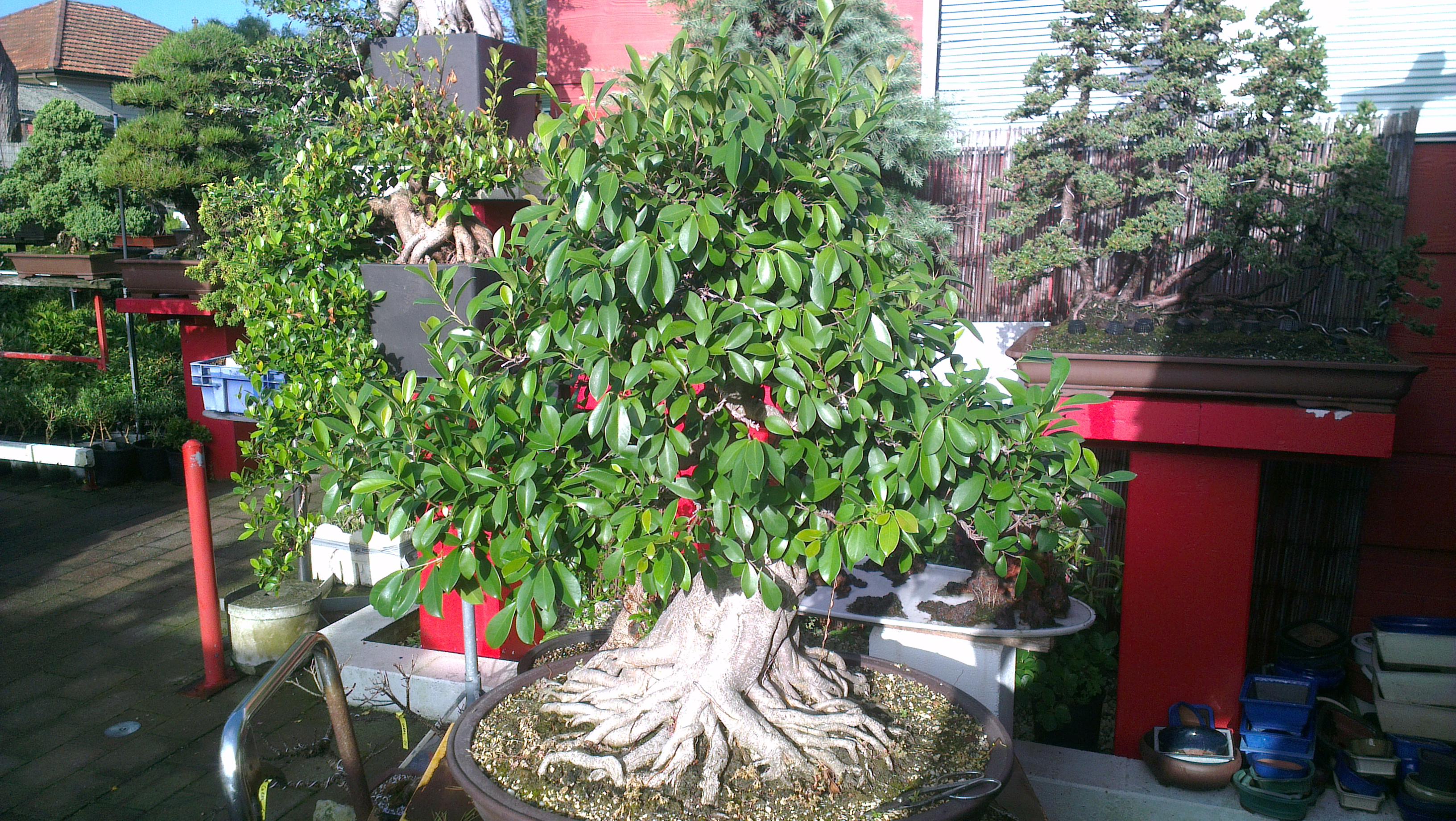 large ficus bonsai u2013 trimming maintenance leaf reduction jlabonsai