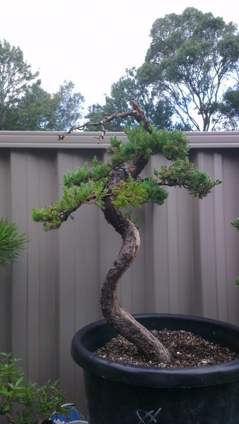 Juniperus Squamata Literati - My Vision (UPDATE!)
